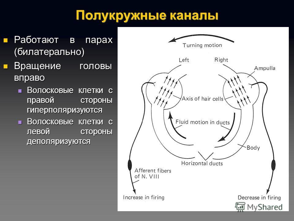 Полукружные каналы Работают в парах (билатерально) Работают в парах (билатерально) Вращение головы вправо Вращение головы вправо Волосковые клетки с правой стороны гиперполяризуются Волосковые клетки с правой стороны гиперполяризуются Волосковые клет