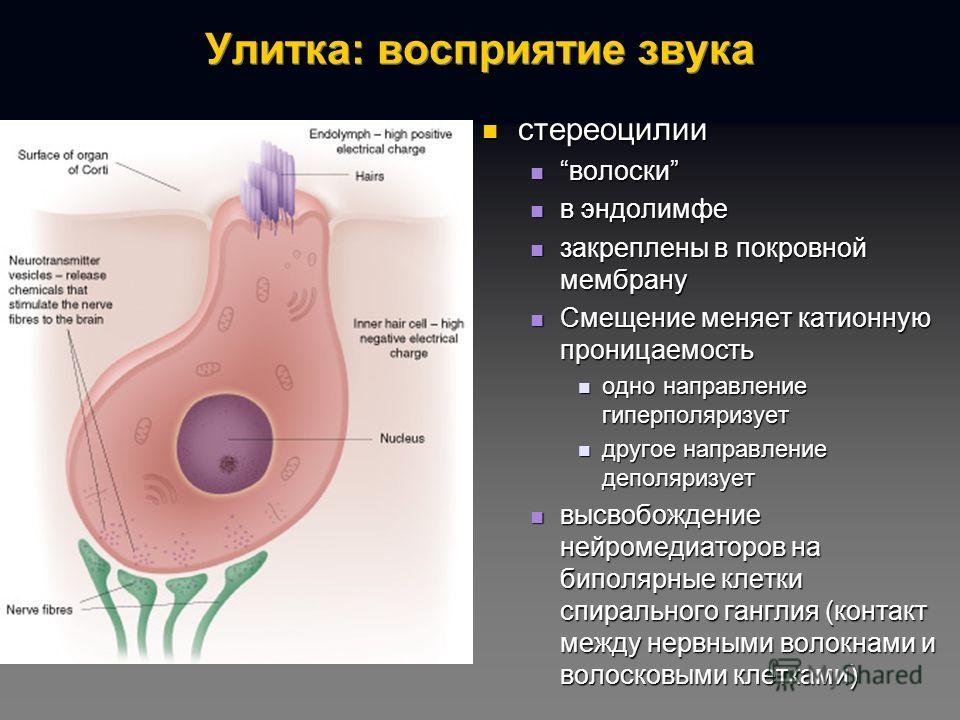 Улитка: восприятие звука стереоцилии волоски в эндолимфе закреплены в покровной мембрану Смещение меняет катионную проницаемость одно направление гиперполяризует другое направление деполяризует высвобождение нейромедиаторов на биполярные клетки спира