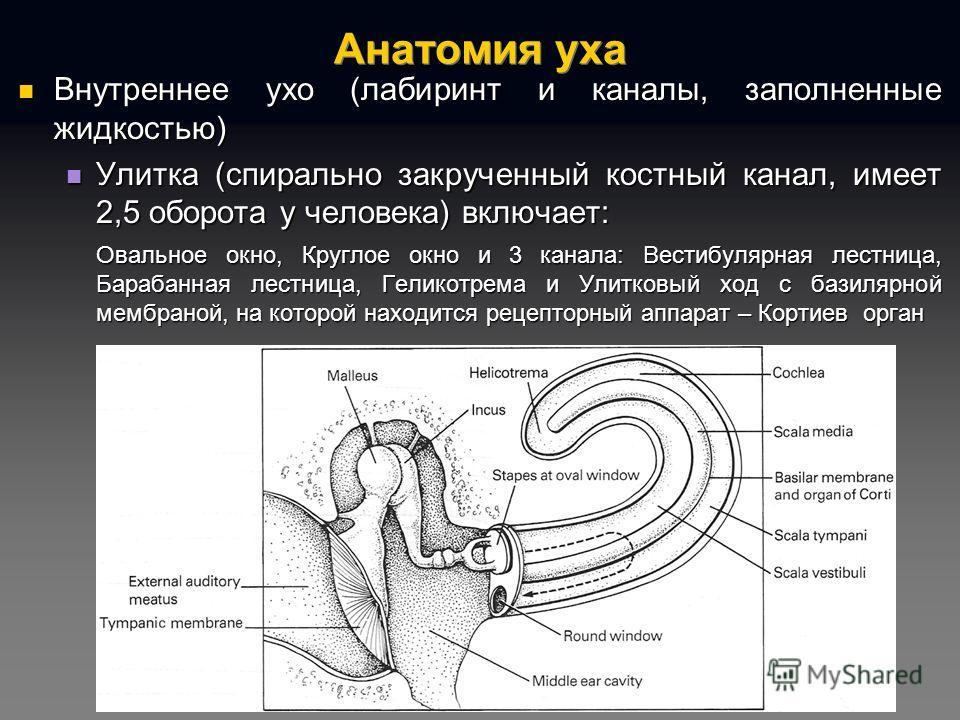 Анатомия уха Внутреннее ухо (лабиринт и каналы, заполненные жидкостью) Внутреннее ухо (лабиринт и каналы, заполненные жидкостью) Улитка (спирально закрученный костный канал, имеет 2,5 оборота у человека) включает: Улитка (спирально закрученный костны
