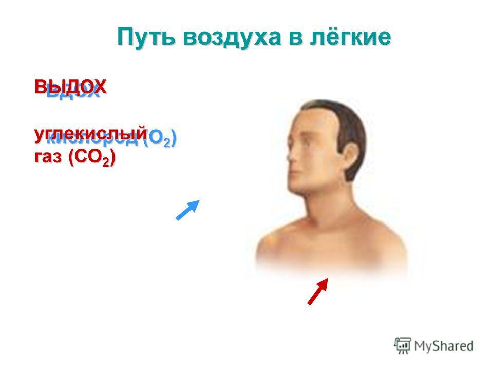 ВДОХ кислород (О 2 ) ВЫДОХ углекислый газ (СО 2 )