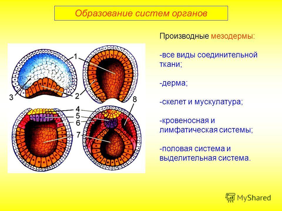 Образование систем органов Производные мезодермы: -все виды соединительной ткани; -дерма; -скелет и мускулатура; -кровеносная и лимфатическая системы; -половая система и выделительная система.