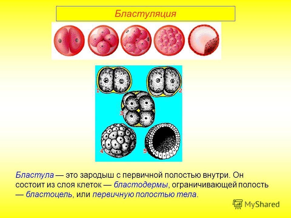 Бластуляция Бластула это зародыш с первичной полостью внутри. Он состоит из слоя клеток бластодермы, ограничивающей полость бластоцель, или первичную полостью тела.