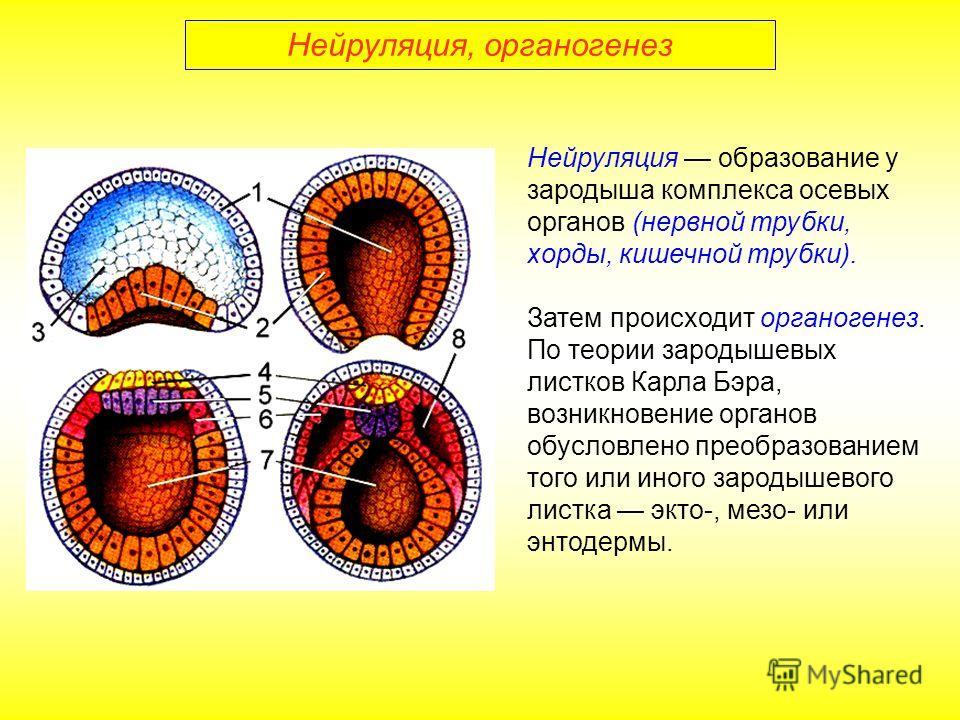 Нейруляция, органогенез Нейруляция образование у зародыша комплекса осевых органов (нервной трубки, хорды, кишечной трубки). Затем происходит органогенез. По теории зародышевых листков Карла Бэра, возникновение органов обусловлено преобразованием тог