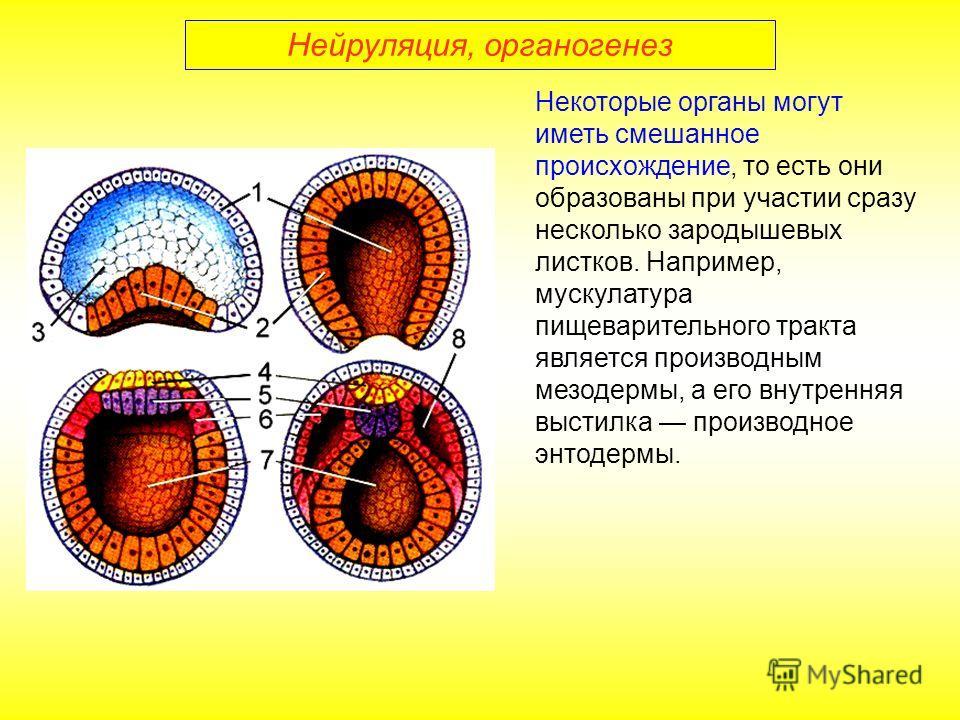 Некоторые органы могут иметь смешанное происхождение, то есть они образованы при участии сразу несколько зародышевых листков. Например, мускулатура пищеварительного тракта является производным мезодермы, а его внутренняя выстилка производное энтодерм