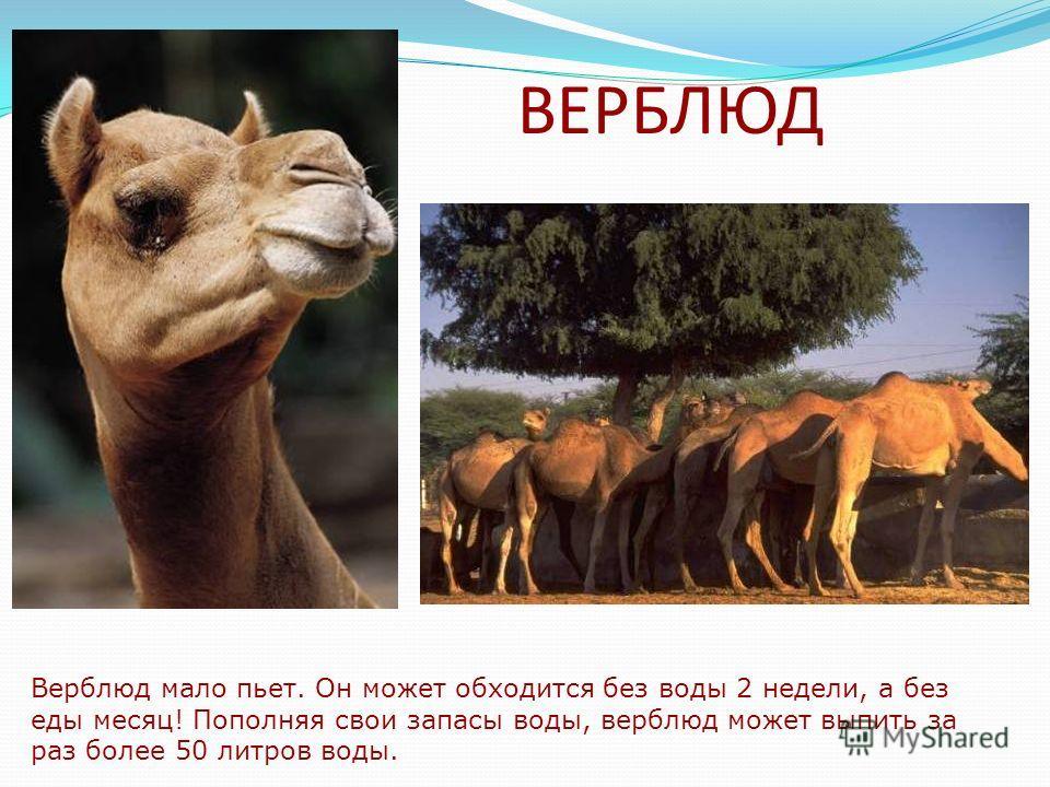 ВЕРБЛЮД Верблюд мало пьет. Он может обходится без воды 2 недели, а без еды месяц! Пополняя свои запасы воды, верблюд может выпить за раз более 50 литров воды.