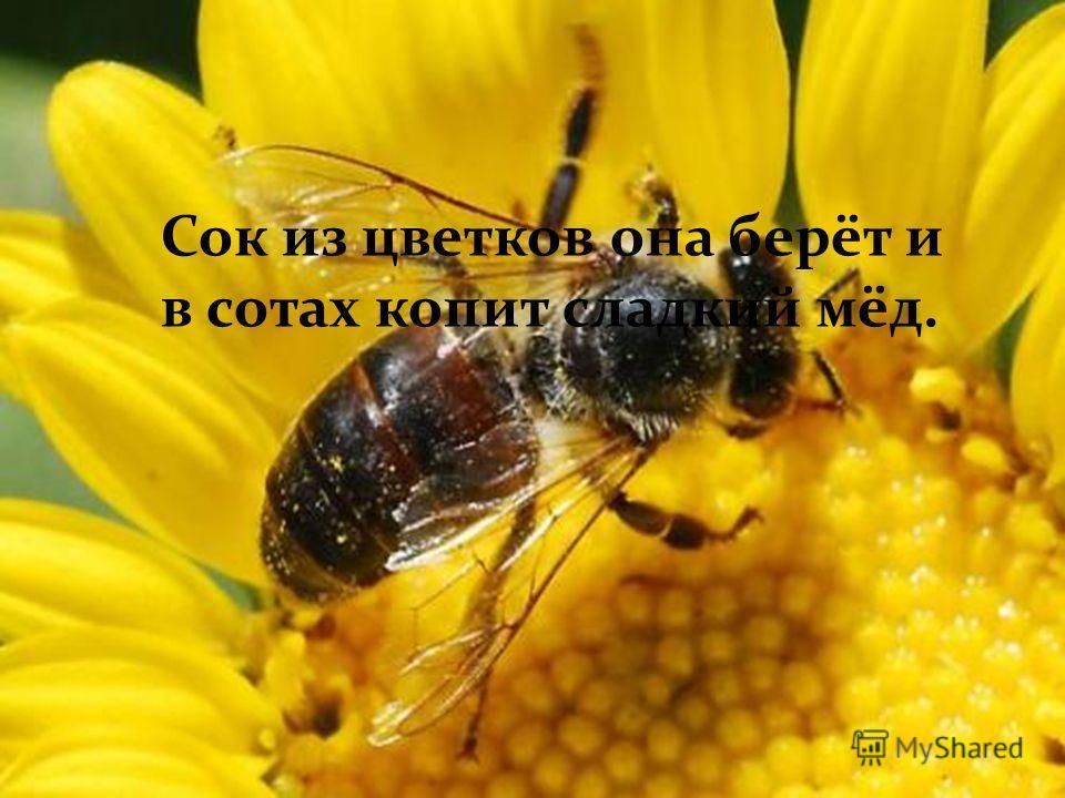 Сок из цветков она берёт и в сотах копит сладкий мёд.