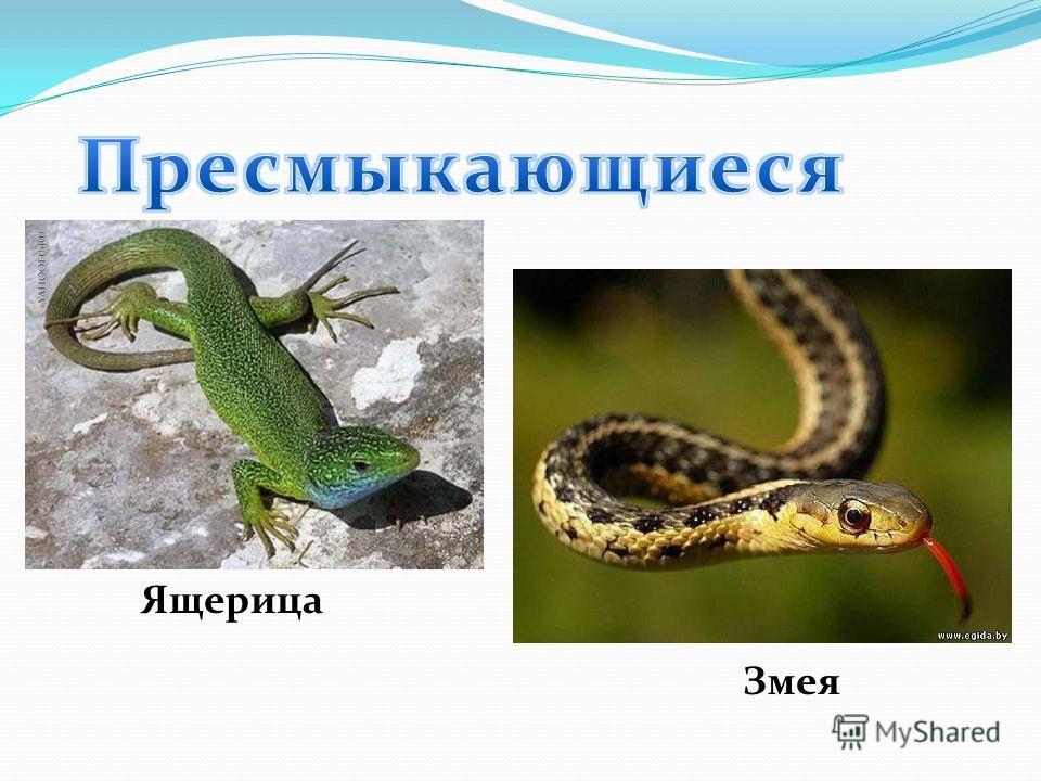 Ящерица Змея