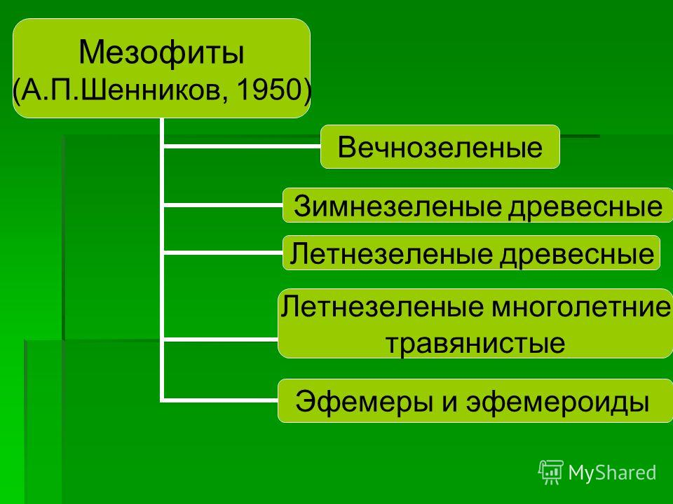 Мезофиты (А.П.Шенников, 1950) Вечнозеленые Зимнезеленые древесные Летнезеленые древесные Эфемеры и эфемероиды Летнезеленые многолетние травянистые