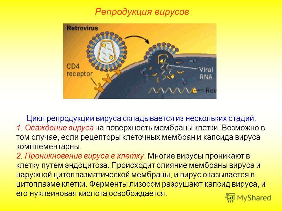 Цикл репродукции вируса складывается из нескольких стадий: 1. Осаждение вируса на поверхность мембраны клетки. Возможно в том случае, если рецепторы клеточных мембран и капсида вируса комплементарны. 2. Проникновение вируса в клетку. Многие вирусы пр
