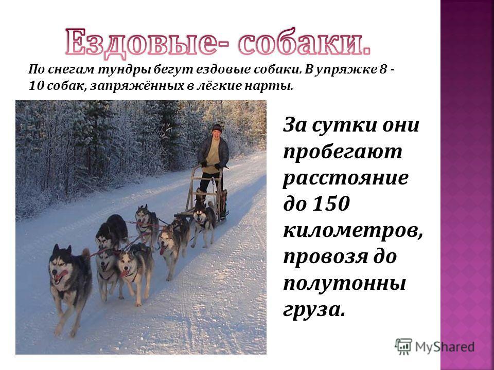 По снегам тундры бегут ездовые собаки. В упряжке 8 - 10 собак, запряжённых в лёгкие нарты. За сутки они пробегают расстояние до 150 километров, провозя до полутонны груза.