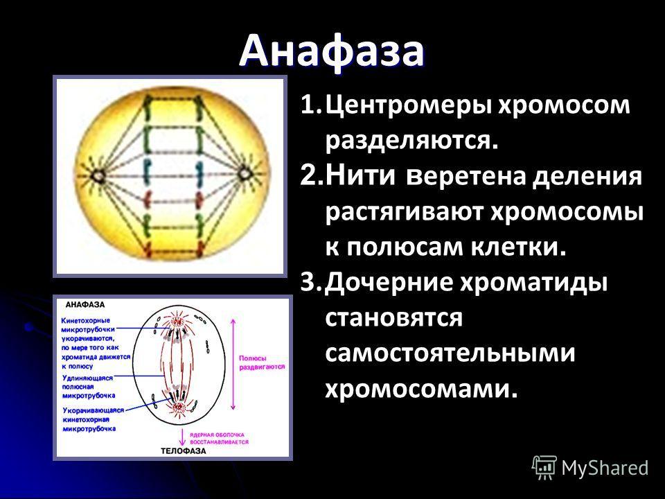 Анафаза 1.Центромеры хромосом разделяются. 2.Нити в еретена деления растягивают хромосомы к полюсам клетки. 3.Дочерние хроматиды становятся самостоятельными хромосомами.