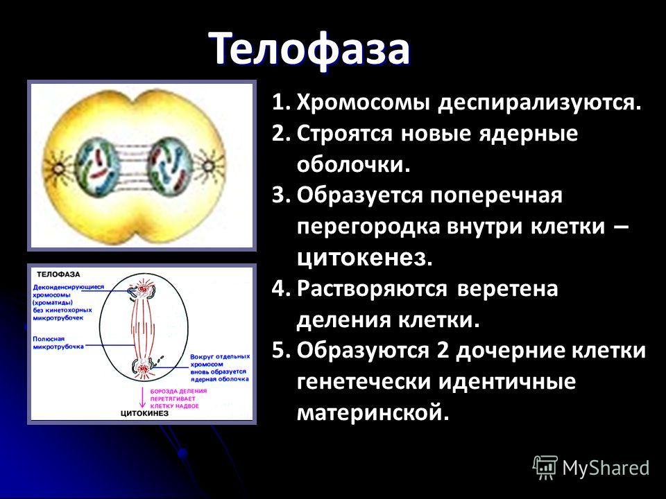 Телофаза 1.Хромосомы деспирализуются. 2.Строятся новые ядерные оболочки. 3.Образуется поперечная перегородка внутри клетки – цитокенез. 4.Растворяются веретена деления клетки. 5.Образуются 2 дочерние клетки генетечески идентичные материнской.