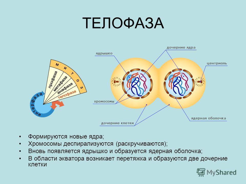 ТЕЛОФАЗА Формируются новые ядра; Хромосомы деспирализуются (раскручиваются); Вновь появляется ядрышко и образуется ядерная оболочка; В области экватора возникает перетяжка и образуются две дочерние клетки