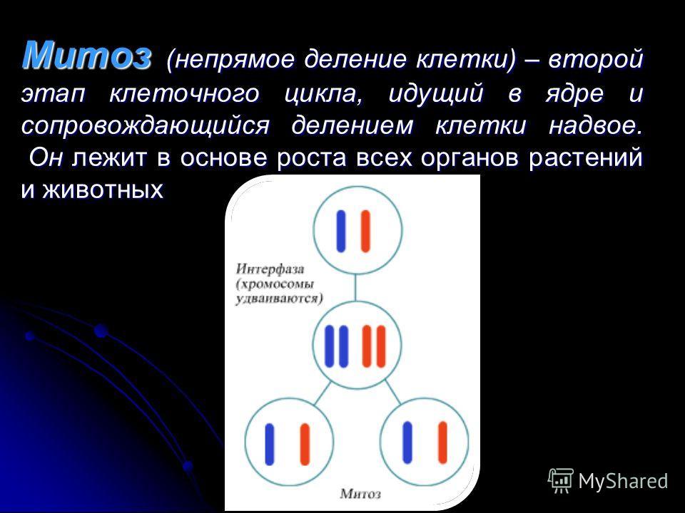 Митоз (непрямое деление клетки) – второй этап клеточного цикла, идущий в ядре и сопровождающийся делением клетки надвое. Он лежит в основе роста всех органов растений и животных