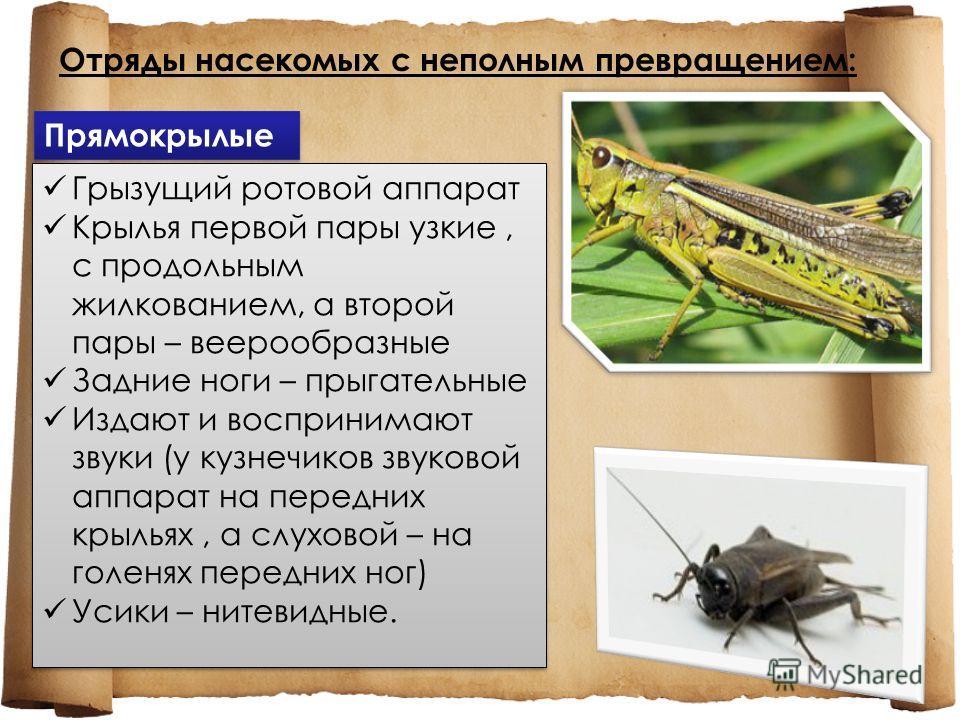 Отряды насекомых с неполным превращением: Прямокрылые Грызущий ротовой аппарат Крылья первой пары узкие, с продольным жилкованием, а второй пары – веерообразные Задние ноги – прыгательные Издают и воспринимают звуки (у кузнечиков звуковой аппарат на