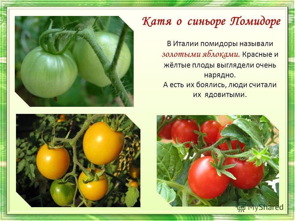 Катя о синьоре Помидоре В Италии помидоры называли золотыми яблоками. Красные и жёлтые плоды выглядели очень нарядно. А есть их боялись, люди считали их ядовитыми.