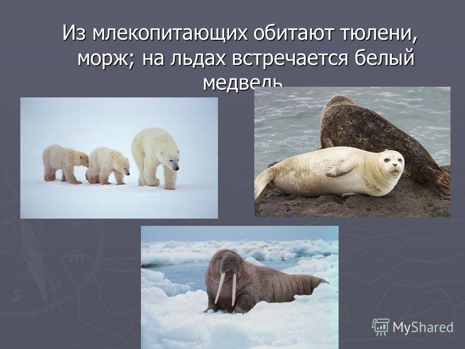 Из млекопитающих обитают тюлени, морж; на льдах встречается белый медведь. Из млекопитающих обитают тюлени, морж; на льдах встречается белый медведь.