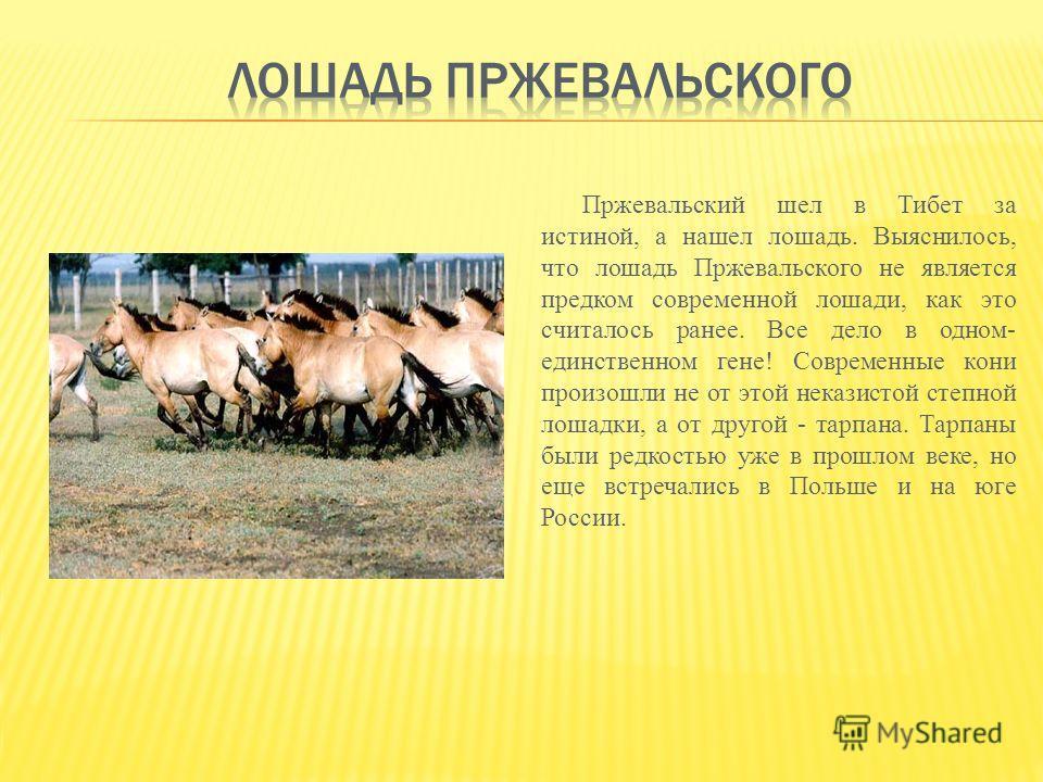 Пржевальский шел в Тибет за истиной, а нашел лошадь. Выяснилось, что лошадь Пржевальского не является предком современной лошади, как это считалось ранее. Все дело в одном- единственном гене! Современные кони произошли не от этой неказистой степной л