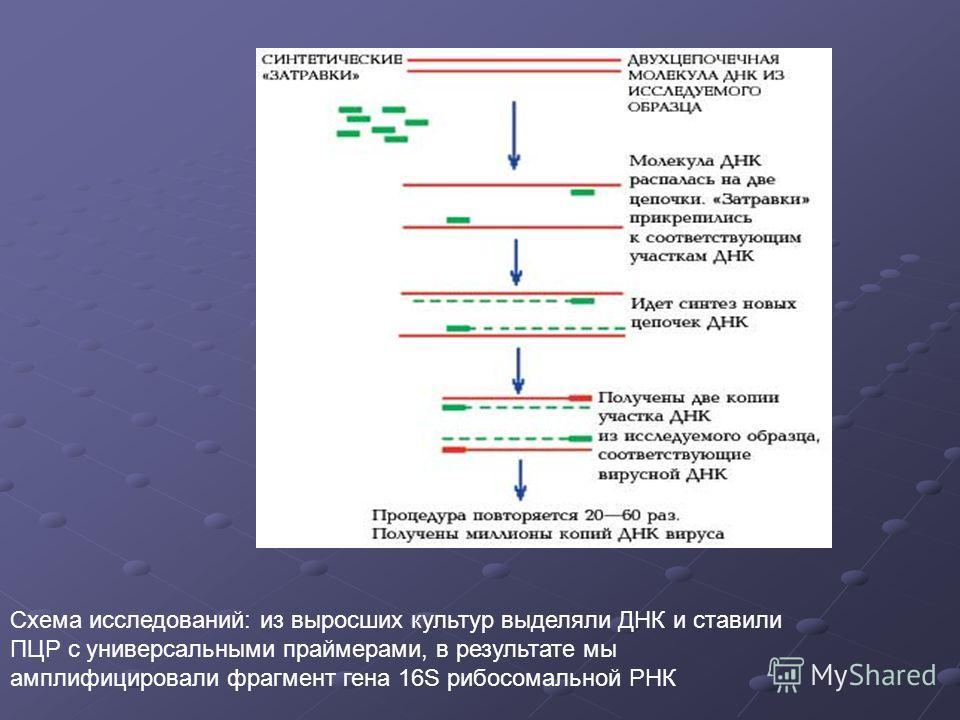 Схема исследований: из выросших культур выделяли ДНК и ставили ПЦР с универсальными праймерами, в результате мы амплифицировали фрагмент гена 16S рибосомальной РНК
