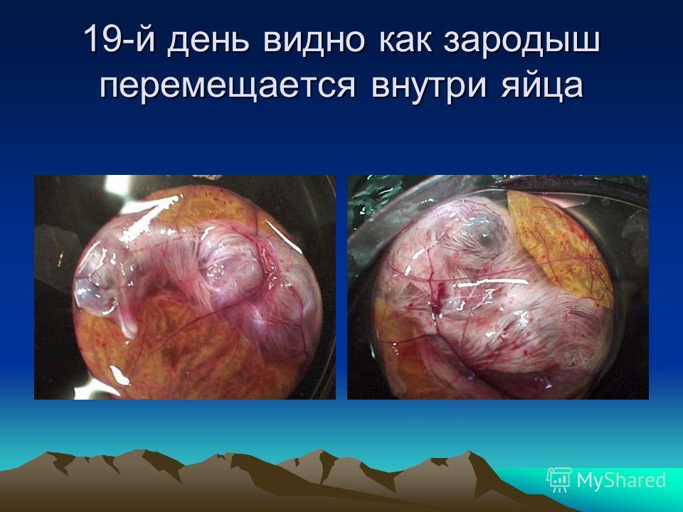 17-18 –е сутки На восемнадцатый день инкубации слышно, как пищат в яйцах цыплята.