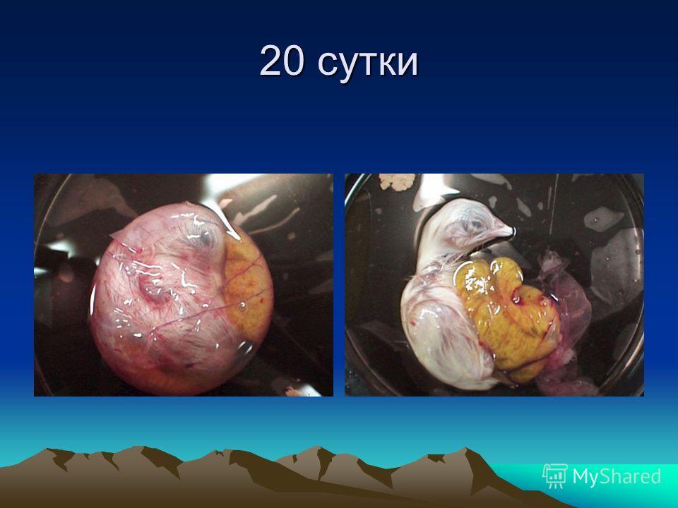 19-й день видно как зародыш перемещается внутри яйца