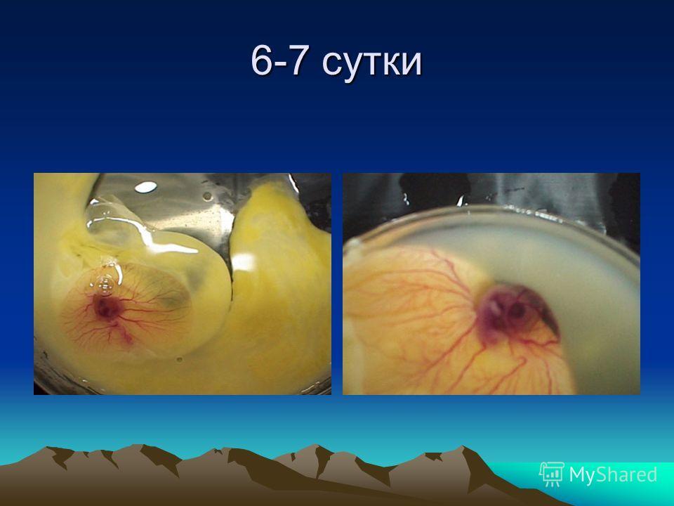 5-й день при нормальном развитии зародыша просматривается кровеносная система и темное пятно зародыша