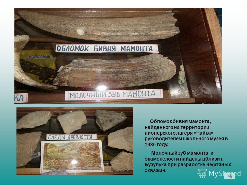 Обломок бивня мамонта, найденного на территории пионерского лагеря «Чайка» руководителем школьного музея в 1986 году. Молочный зуб мамонта и окаменелости найдены вблизи г. Бузулука при разработке нефтяных скважин.