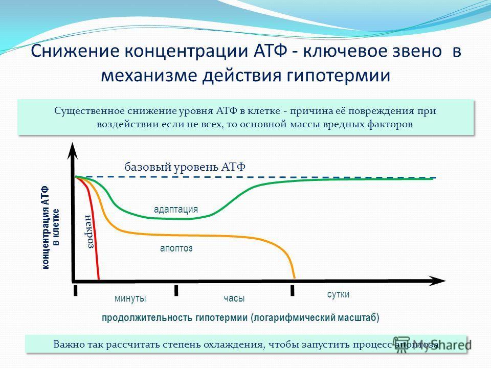 Снижение концентрации АТФ - ключевое звено в механизме действия гипотермии Существенное снижение уровня АТФ в клетке - причина её повреждения при воздействии если не всех, то основной массы вредных факторов концентрация АТФ в клетке базовый уровень А