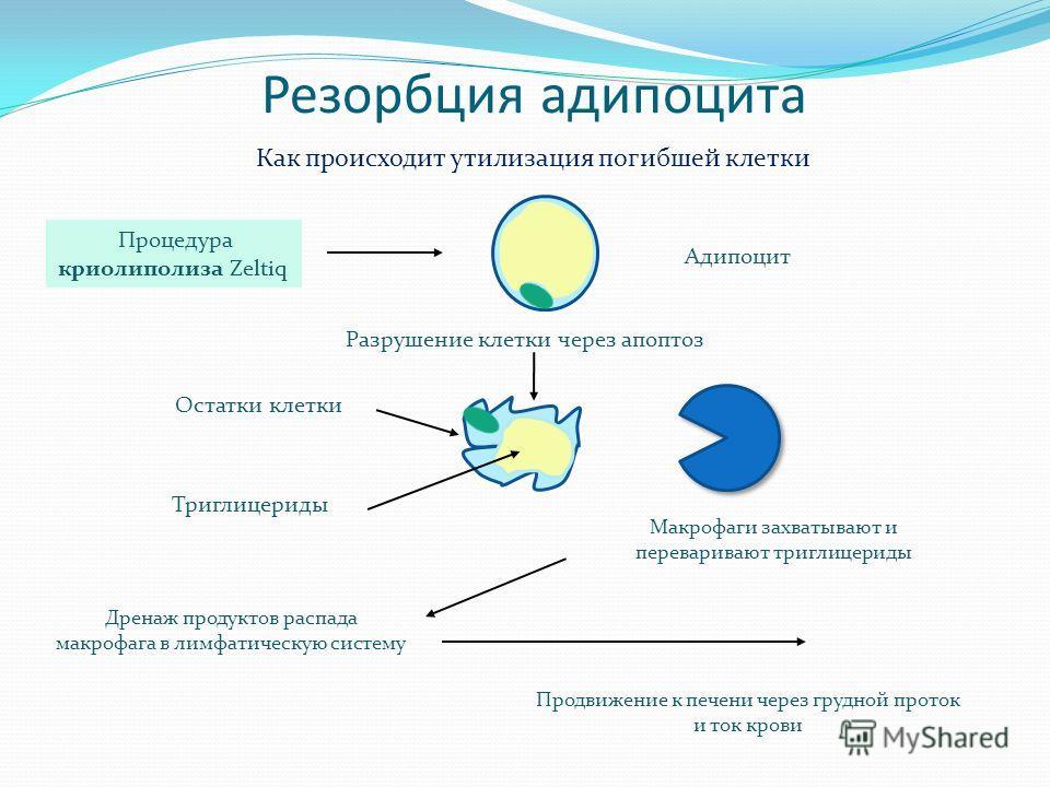 Резорбция адипоцита Триглицериды Остатки клетки Разрушение клетки через апоптоз Процедура криолиполиза Zeltiq Дренаж продуктов распада макрофага в лимфатическую систему Макрофаги захватывают и переваривают триглицериды Продвижение к печени через груд