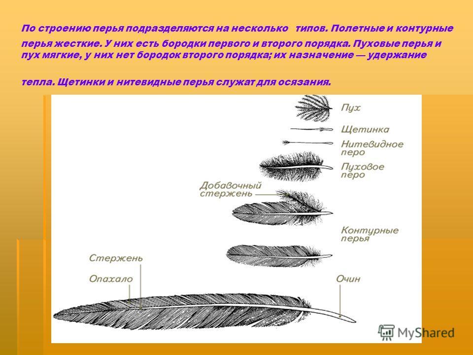 По строению перья подразделяются на несколько типов. Полетные и контурные перья жесткие. У них есть бородки первого и второго порядка. Пуховые перья и пух мягкие, у них нет бородок второго порядка; их назначение удержание тепла. Щетинки и нитевидные