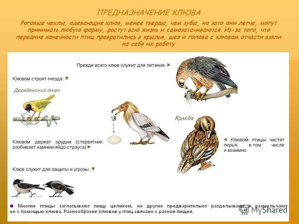 ПРЕДНАЗНАЧЕНИЕ КЛЮВА Роговые чехлы, одевающие клюв, менее тверды, чем зубы, но зато они легче, могут принимать любую форму, растут всю жизнь и самозатачиваются. Из-за того, что передние конечности птиц превратились в крылья, шея и голова с клювом отч