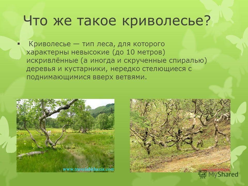 Что же такое криволесье? Криволесье тип леса, для которого характерны невысокие (до 10 метров) искривлённые (а иногда и скрученные спиралью) деревья и кустарники, нередко стелющиеся с поднимающимися вверх ветвями.