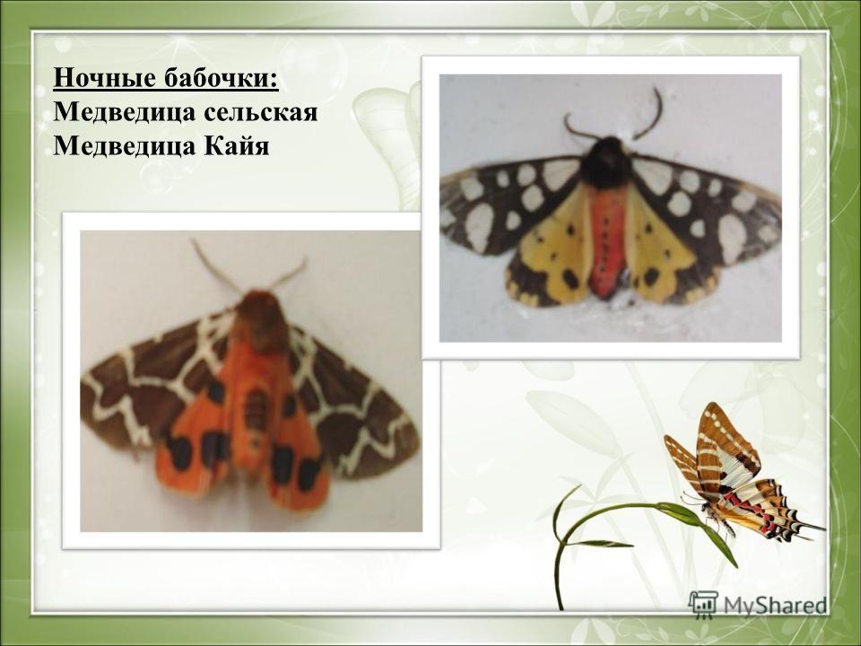 Ночные бабочки: Медведица сельская Медведица Кайя