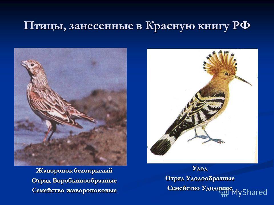 Птицы, занесенные в Красную книгу РФ Жаворонок белокрылый Отряд Воробьинообразные Семейство жавороноковые Удод Отряд Удодообразные Семейство Удодовые