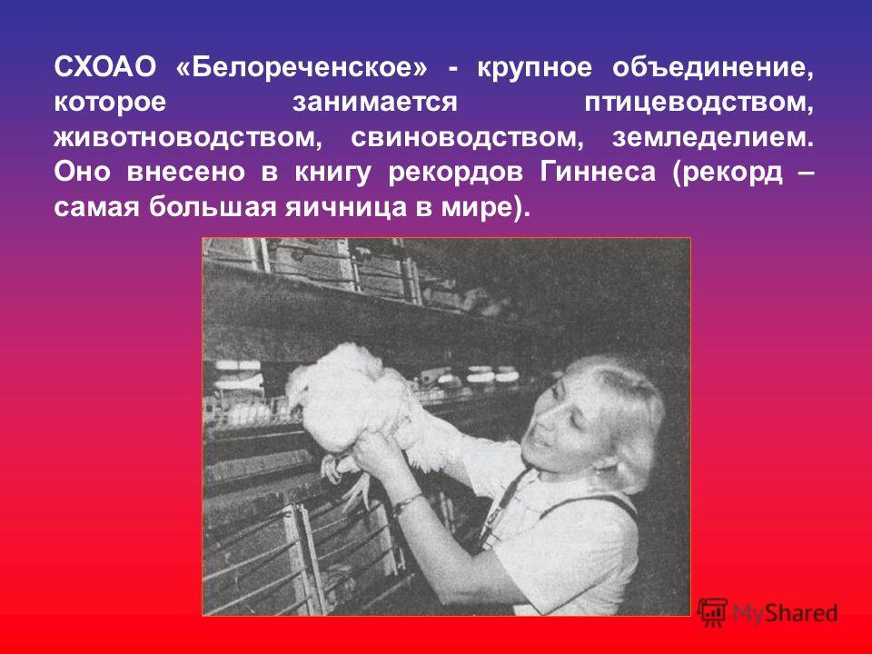 СХОАО «Белореченское» - крупное объединение, которое занимается птицеводством, животноводством, свиноводством, земледелием. Оно внесено в книгу рекордов Гиннеса (рекорд – самая большая яичница в мире).