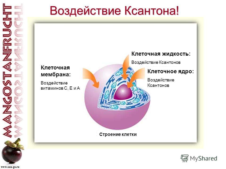 Воздействие Ксантона! Воздействие Ксантона! Клеточная мембрана: Воздействие витаминов C, E и A Клеточная жидкость: Воздействие Ксантонов Клеточное ядро: Воздействие Ксантонов Строение клетки
