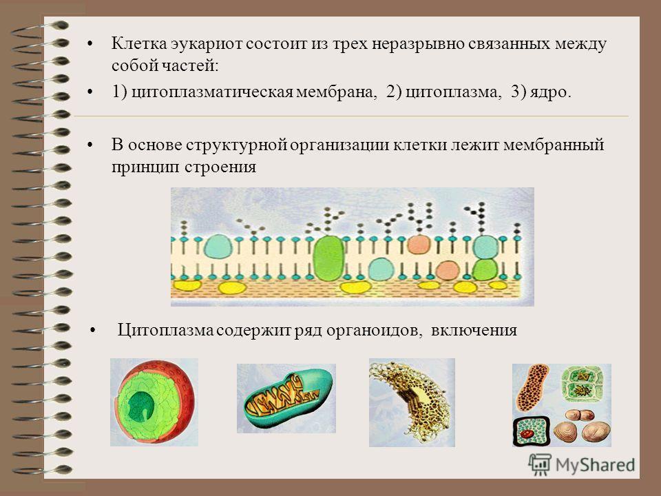 Типы клеток –Прокариотные(отсутствие ядерной оболочки): бактерии, сине-зеленые водоросли –Эукариотные(наличие ядерной оболочки): клетки растений, грибов, животных.