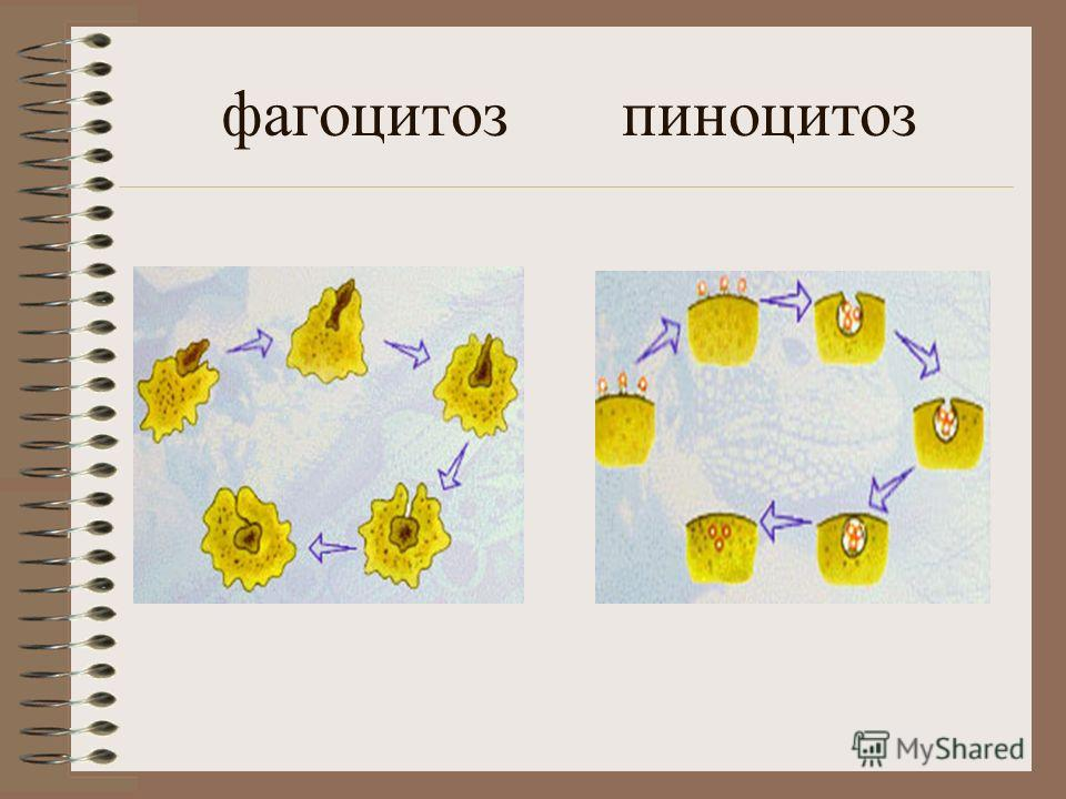 клетка растений клетка животных