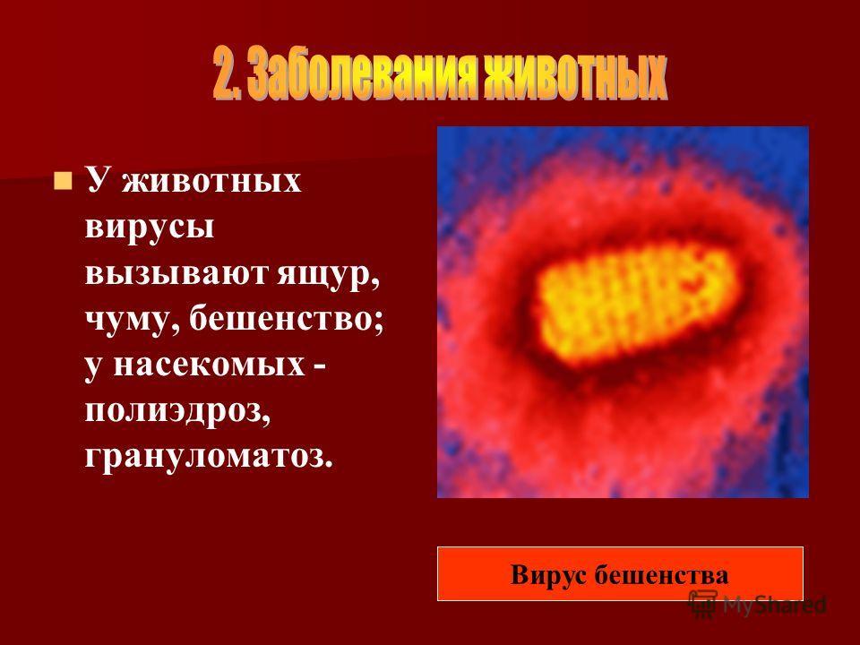 У животных вирусы вызывают ящур, чуму, бешенство; у насекомых - полиэдроз, грануломатоз. Вирус бешенства