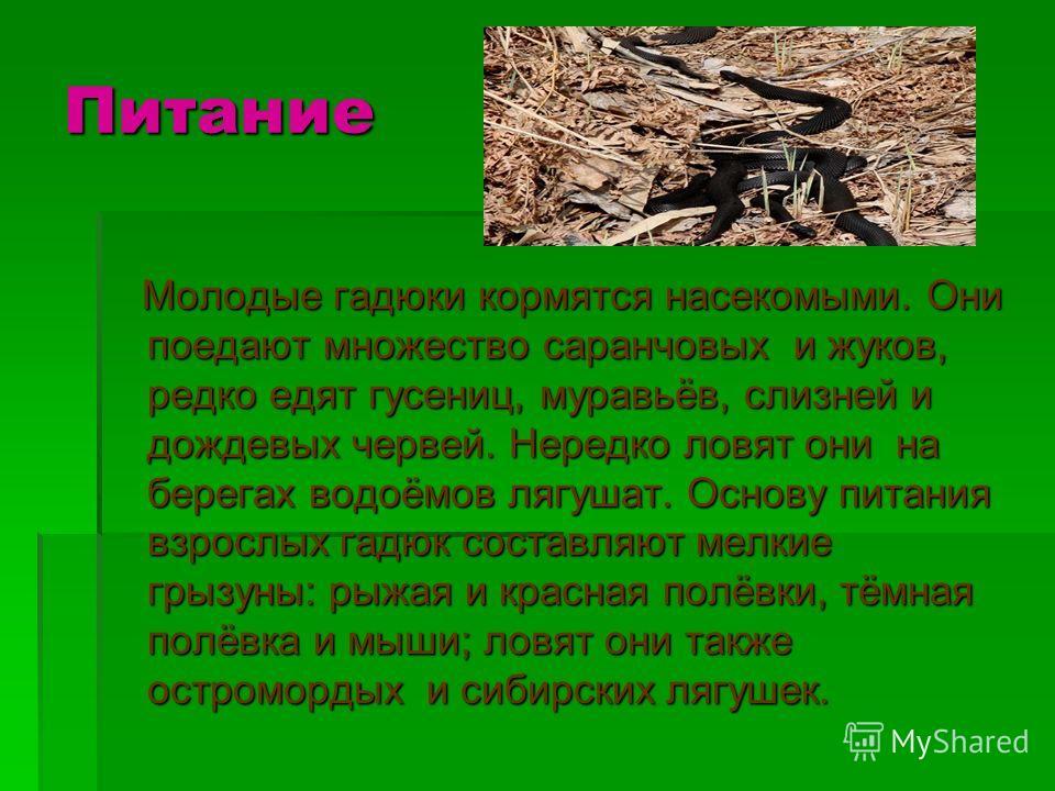 Питание Молодые гадюки кормятся насекомыми. Они поедают множество саранчовых и жуков, редко едят гусениц, муравьёв, слизней и дождевых червей. Нередко ловят они на берегах водоёмов лягушат. Основу питания взрослых гадюк составляют мелкие грызуны: рыж