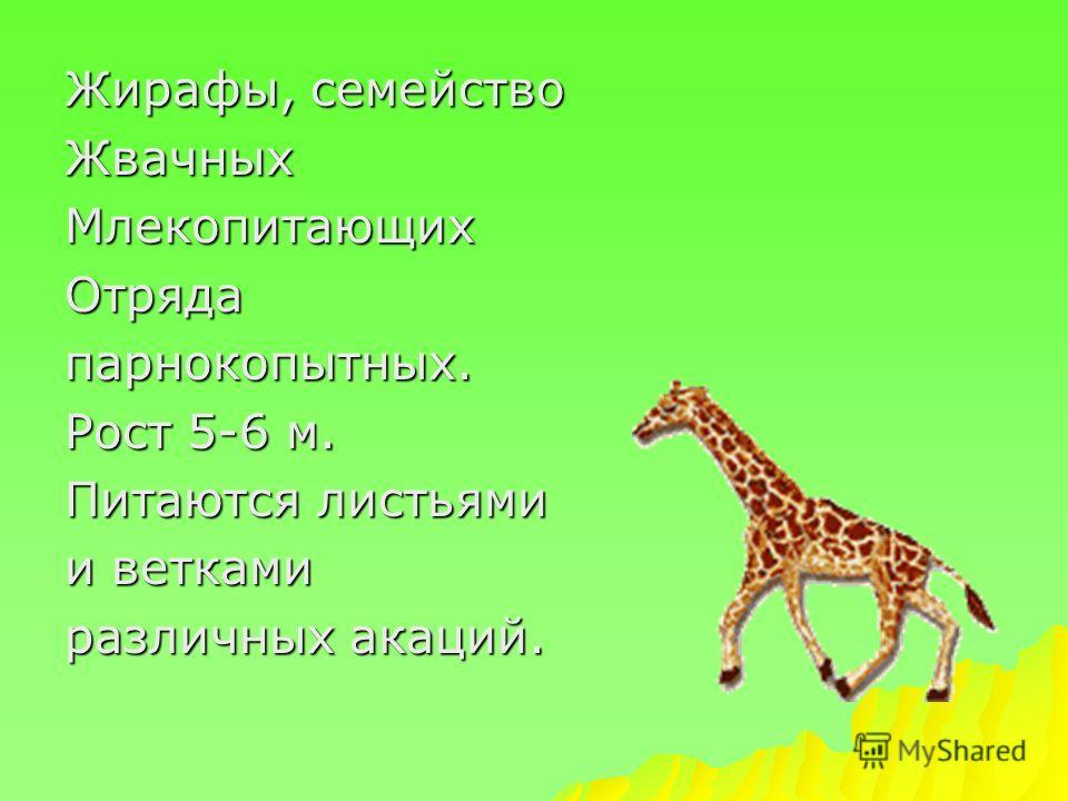 Жирафы, семейство ЖвачныхМлекопитающихОтрядапарнокопытных. Рост 5-6 м. Питаются листьями и ветками различных акаций.