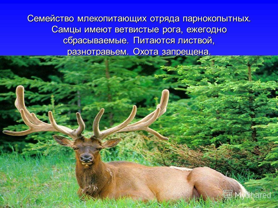 Семейство млекопитающих отряда парнокопытных. Самцы имеют ветвистые рога, ежегодно сбрасываемые. Питаются листвой, разнотравьем. Охота запрещена.
