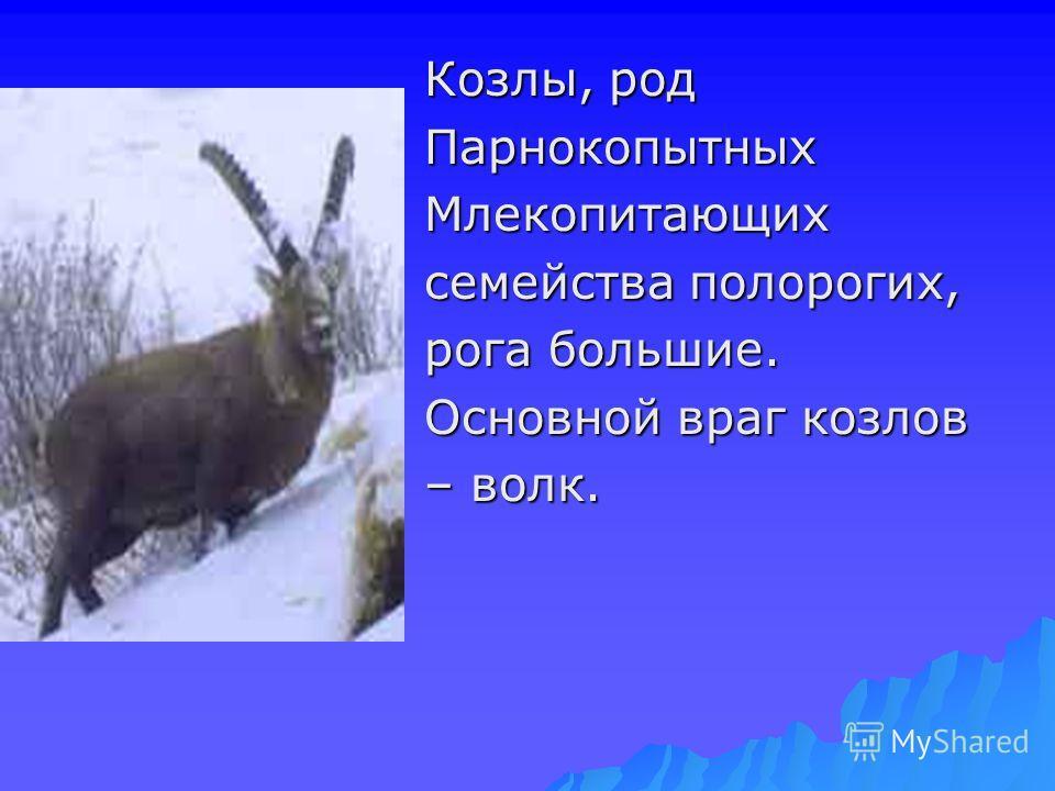 Козлы, род ПарнокопытныхМлекопитающих семейства полорогих, рога большие. Основной враг козлов – волк.