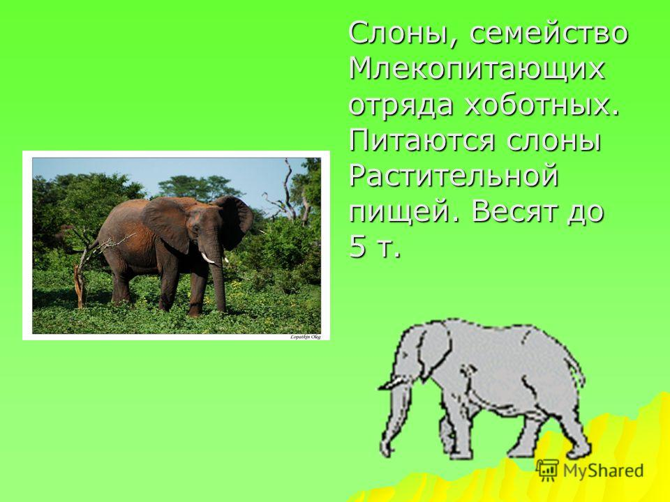 Слоны, семейство Млекопитающих отряда хоботных. Питаются слоны Растительной пищей. Весят до 5 т.