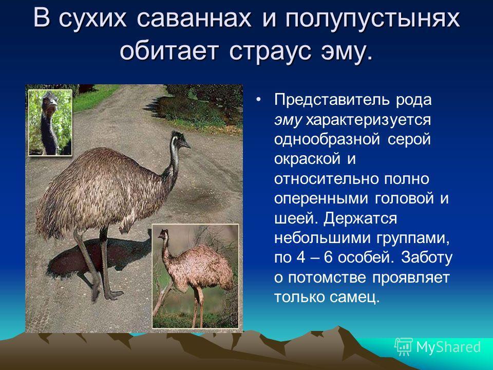 В сухих саваннах и полупустынях обитает страус эму. Представитель рода эму характеризуется однообразной серой окраской и относительно полно оперенными головой и шеей. Держатся небольшими группами, по 4 – 6 особей. Заботу о потомстве проявляет только