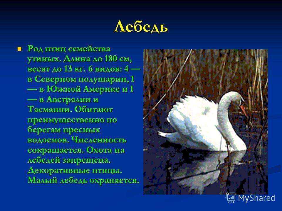 Лебедь Род птиц семейства утиных. Длина до 180 см, весят до 13 кг. 6 видов: 4 в Северном полушарии, 1 в Южной Америке и 1 в Австралии и Тасмании. Обитают преимущественно по берегам пресных водоемов. Численность сокращается. Охота на лебедей запрещена