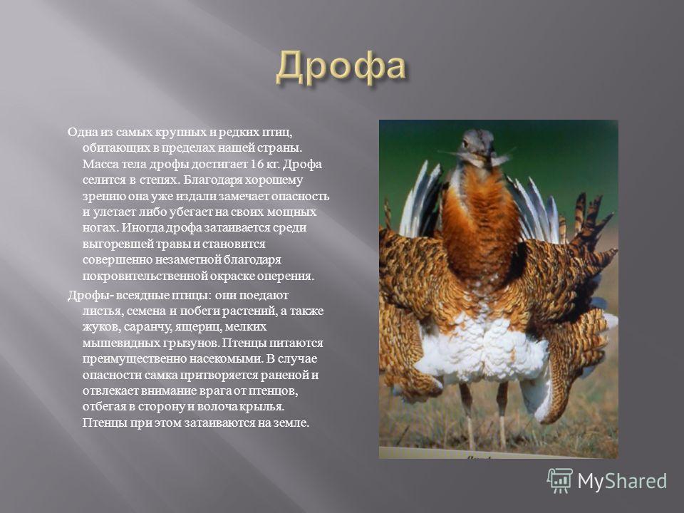Одна из самых крупных и редких птиц, обитающих в пределах нашей страны. Масса тела дрофы достигает 16 кг. Дрофа селится в степях. Благодаря хорошему зрению она уже издали замечает опасность и улетает либо убегает на своих мощных ногах. Иногда дрофа з