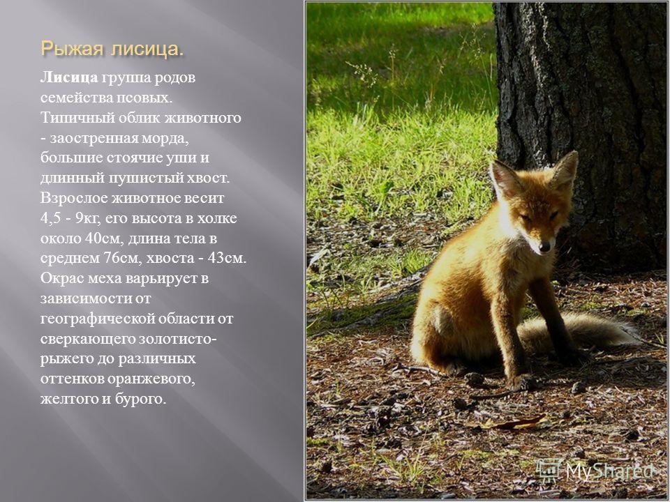 Рыжая лисица. Лисица группа родов семейства псовых. Типичный облик животного - заостренная морда, большие стоячие уши и длинный пушистый хвост. Взрослое животное весит 4,5 - 9 кг, его высота в холке около 40 см, длина тела в среднем 76 см, хвоста - 4