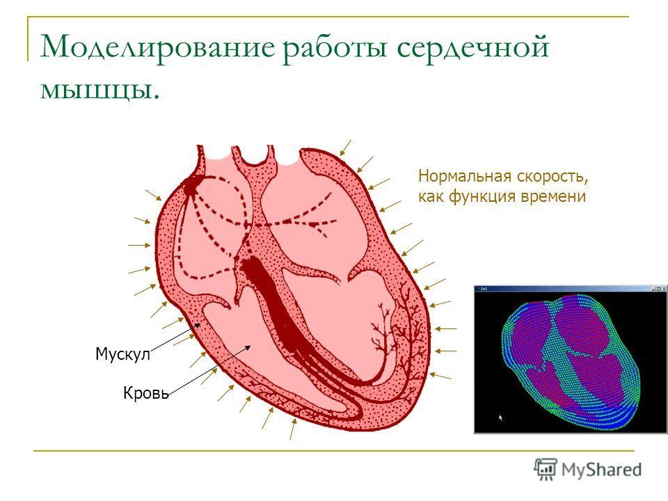 Мускул Кровь Нормальная скорость, как функция времени Моделирование работы сердечной мышцы.