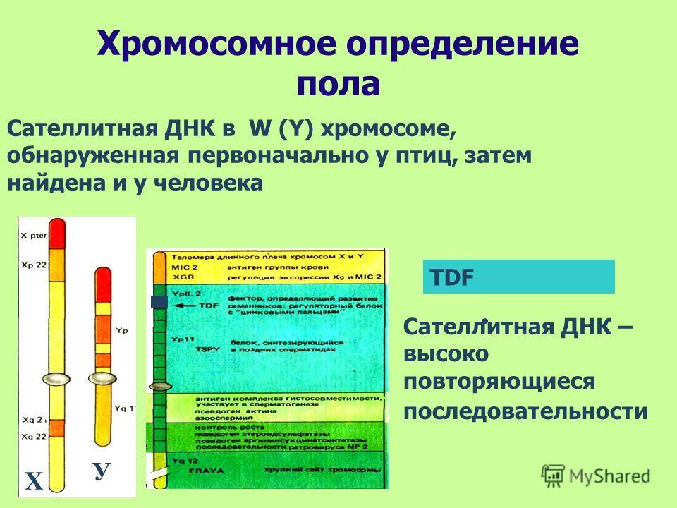 Хромосомное определение пола Сателлитная ДНК в W (Y) хромосоме, обнаруженная первоначально у птиц, затем найдена и у человека Сателлитная ДНК – высоко повторяющиеся последовательности Х У TDF